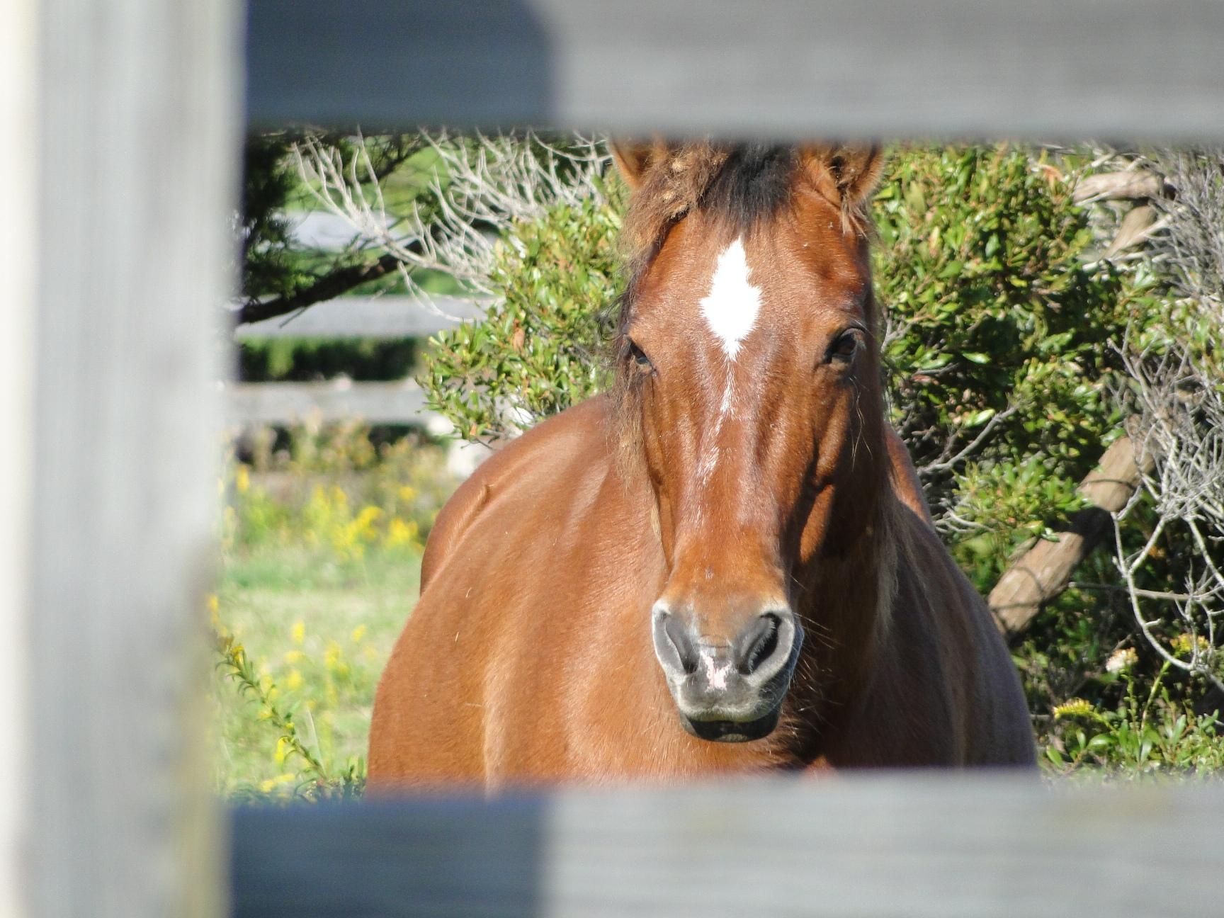 NC's Wild Horses
