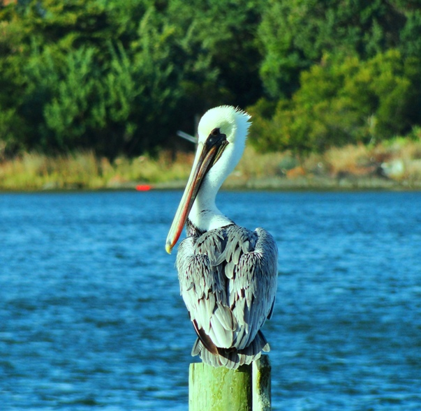My Hero…the Brown Pelican