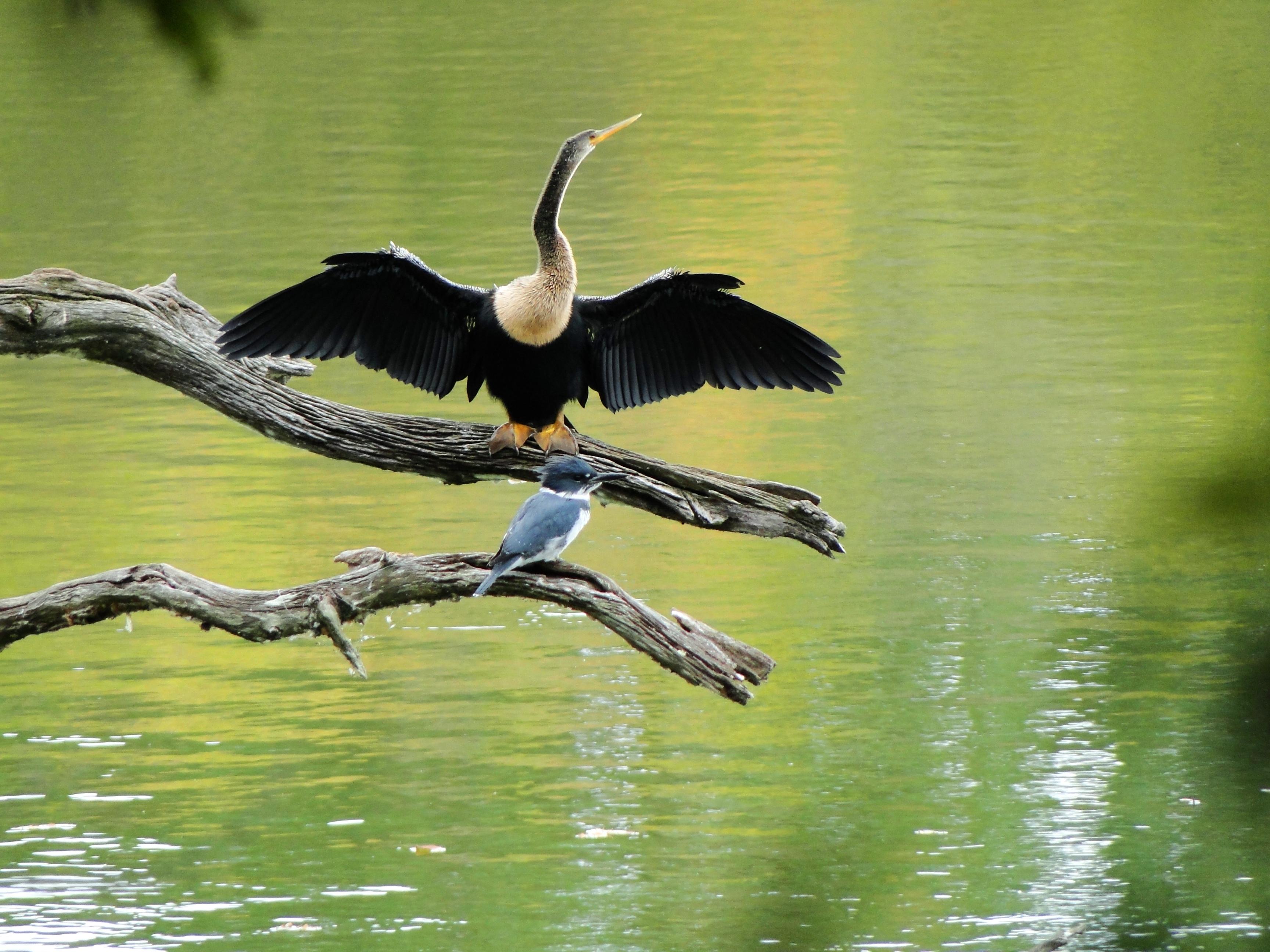 Cormorant and Kingfisher