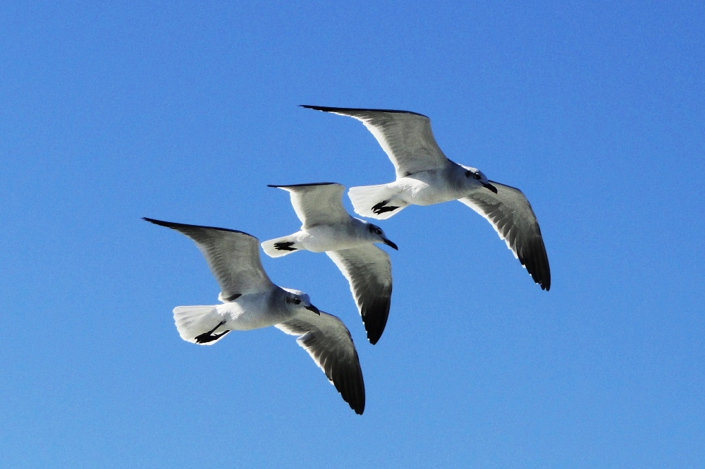Sea Gulls In Sync