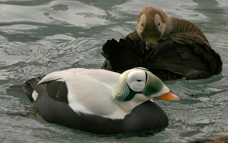 Precious Eiders and Other Birds At Risk