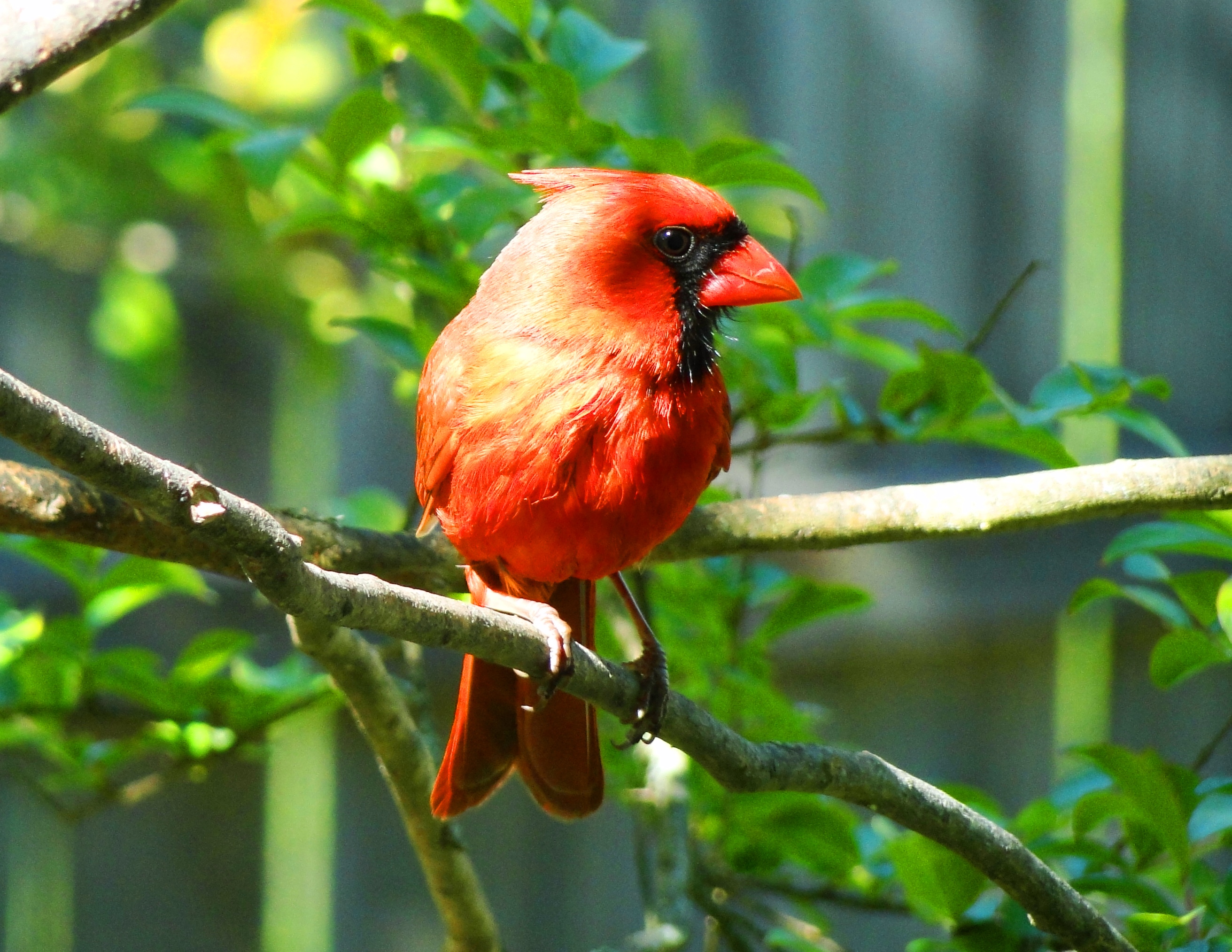 Northern Cardinal State Bird