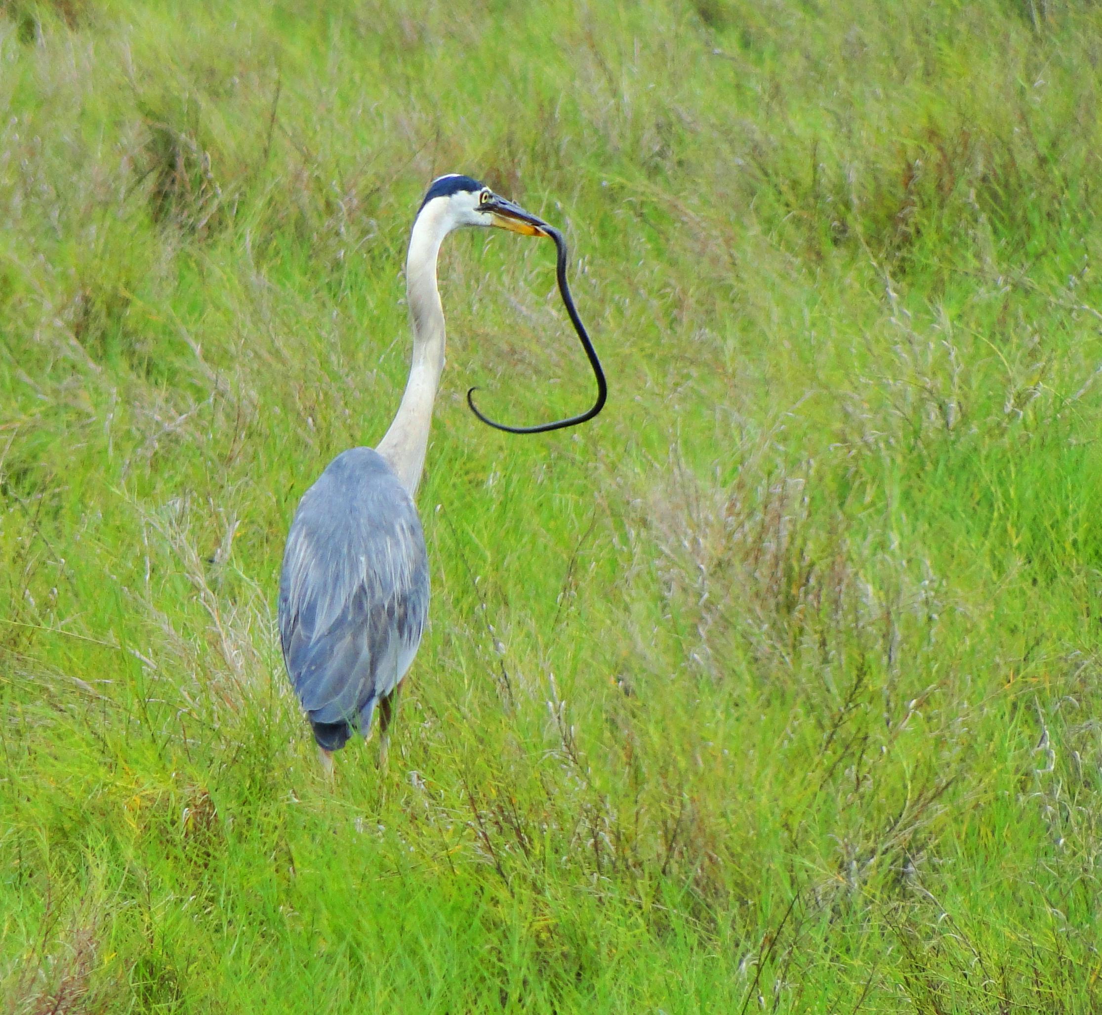 Great Blue Heron vs. Snake