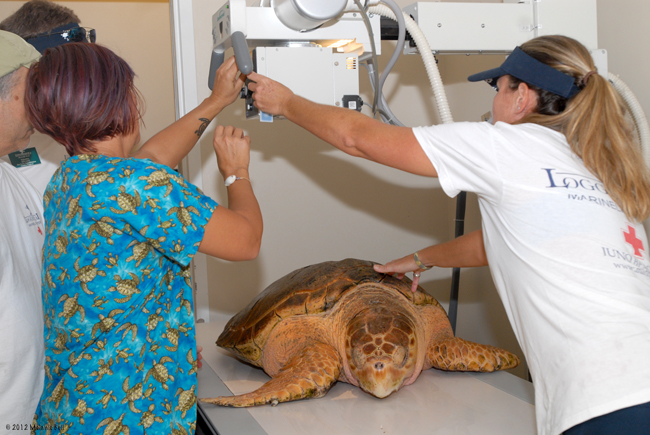 Kahuna the Rehabilitated Sea Turtle