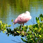 Sleepy spoonbill close