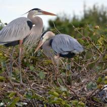 A Christmas Story from the Herons