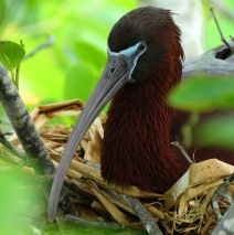 Glossy Ibis on Nest