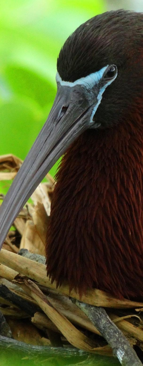 Glossy Ibis on Nest