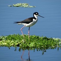 Precious Black Necked Stilt