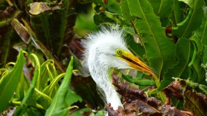 Great White Egret chick